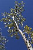 Jatropha (Jatropha mahafaliensis) in Mahafaly country, Ifaty, Province of Tulear, Madagascar