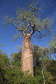 Baobab (Adansonia rubrostipa), the notches dug in the trunk are used to climb on the tree, Ifaty, Province of Tulear, Madagascar