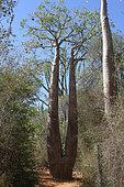 Monkey-bread Tree (Adansonia rubrostipa) twin trunk, Ifaty, Province de Tulear, Madagascar