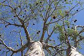 Two Baobab (Adansonia rubrostipa), Ifaty, Province of Tulear, Madagascar