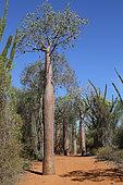 Young Baobab (Adansonia) rubrostipa, Ifaty, Province of Tulear, Madagascar