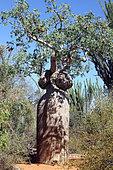 Monkey-bread Tree (Adansonia fony), Ifaty, Province of Tulear, Madagascar