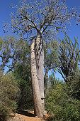 Monkey-bread Tree (Adansonia rubrostipa), Ifaty, Province de Tulear, Madagascar