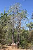Regrowth of a sectioned baobab (Adansonia rubrostipa), Ifaty, Province of Tulear, Madagascar