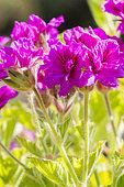 Pelargonium cucullatum 'Flore Pleno'