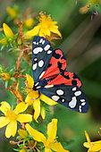 Scarlet Tiger moth (Callimorpha dominula) on flower