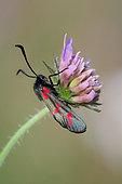 Six-spot Burnet (Zygaena fillipendulae) on flower