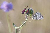 Burnet (Zygaena osterodensis) and Marbled White (Melanargia galathea) on flower