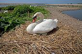 Mute swan (Cygnus olor) at nest, Abbotsbury Swannery, Dorset