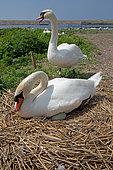 Pair of mute swans (Cygnus olo)r at nest, Abbotsbury Swannery, Dorset