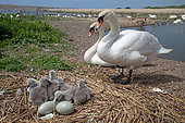 Pair of mute swans (Cygnus olor) at nest, Abbotsbury Swannery, Dorset