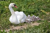 Mute swan (Cygnus olor) on nest with cygnets, Abbotsbury Swannery, Dorset