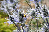 White-tailed bumblebee (Bombus leucorum) with full pollen sacs feeding on Eyngium flower, Dumfries, Scotland