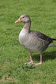 Western Greylag goose (Anser anser) standing, Slimbridge, UK