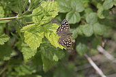 Speckled wood butterfly (Pararge aegeria) resting on leaf, Devon, UK
