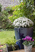 White chrysanthemums in pots in a garden in autumn, Pas de Calais, France
