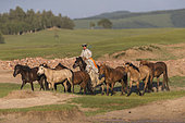 Mongolian horseman dressed with traditional clothes, lead a troop of horses running in a group in the meadow, Bashang Grassland, Zhangjiakou, Hebei Province, Inner Mongolia, China