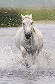 Horse running in the water, Bashang Grassland, Zhangjiakou, Hebei Province, Inner Mongolia, China