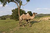 Bactrian camel (Camelus bactrianus), Bashang Grassland, Zhangjiakou, Hebei Province, Inner Mongolia, China