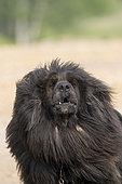 Tibetan Mastiff, Bashang Grassland, Zhangjiakou, Hebei Province, Inner Mongolia, China