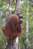 Orang utan (Pongo pygmaeus) on a trunk, Tanjung Puting, Kalimantan, Indonesia