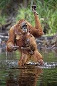 Orang utan (Pongo pygmaeus) with young crossing a river, Tanjung Puting, Kalimantan, Indonesia