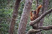 Orang utan (Pongo pygmaeus) with young on a branch, Tanjung Puting, Kalimantan, Indonesia