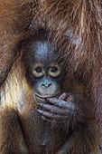 Portrait of young Orang utan (Pongo pygmaeus), Tanjung Puting, Kalimantan, Indonesia