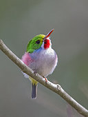 Cuban Tody (Todus multicolor) perched on a branch, Cuba