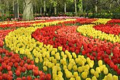 Tulips (Tulipa hybrids) at Keukenhof, Lisse, South Holland, Netherlands