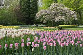 Flowering Tulips (Tulipa) at Keukenhof, Lisse, South Holland, The Netherlands, Europe