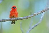 Red Fody (Foudia madagascariensis) male, Bird Island, Seychelles