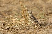 Greater Short-toed Lark (Calandrella brachydactyla) on ground, Thar Desert, Rajasthan, India