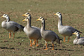Bar-headed Goose (Anser indicus) group near a waterhole, Rajasthan, India
