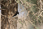 Variable Wheatear (Oenanthe picata picata) male on a branch, Desert National Park, Rajasthan, India