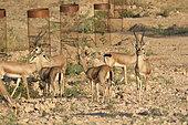 Chinkara (Gazella bennettii), group near a Bishnoi temple, Rajasthan, India