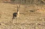 Chinkara (Gazella bennettii) male, Keechan Dunes, Rajasthan, India