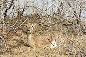 Chinkara (Gazella bennettii), Keechan Dunes, Rajasthan, India