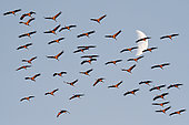 Common cranes (Grus grus), migratory stopover at Lac du Der, Champagne, France