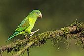 Orange-chinned Parakeet (Brotogeris jugularis), Costa Rica