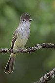 La Sagra's Flycatcher (Myiarchus sagrae), Cuba
