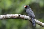 Black-fronted Nunbird (Monasa nigrifrons), Manu National Park, Peru