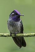 Violet-headed Hummingbird (Klais guimeti) male, Manu National Park, Peru