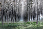 Fog in the poplar, Riva, Mantova, Italy