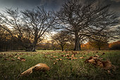 A very old oak tree, Walnnut trees and leaves at sunset, Bardi, Parma, Emilia Romagna, Italy