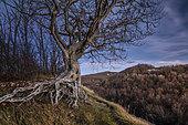 A very old beech tree at dawn, Bardi, Parma, Emilia-Romagna, Italy