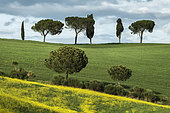 Cypresses (Cupressus sempervirens) and maritime pines (Pinus pinaster) in Val d'Orcia, San Quirico d'Orcia, Tuscany, Italy