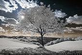 White walnut tree, Infrared picture, Langhirano, Parma, Emilia-Romagna, Italy