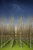 Breeding of Poplars (Populus sp), Boretto, Reggio Emilia, Italy