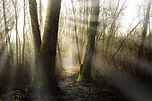 Wild poplar trees in flood area, Luzzara, Reggio Emilia, Italy